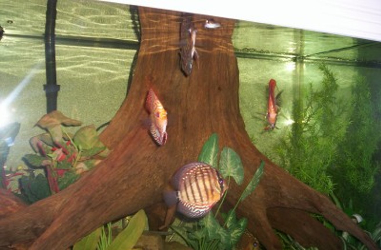 freshwater fish - symphysodon aequifasciata sp. - discus stocking in 150 gallons tank - 150 GALLON DISCUS TANK