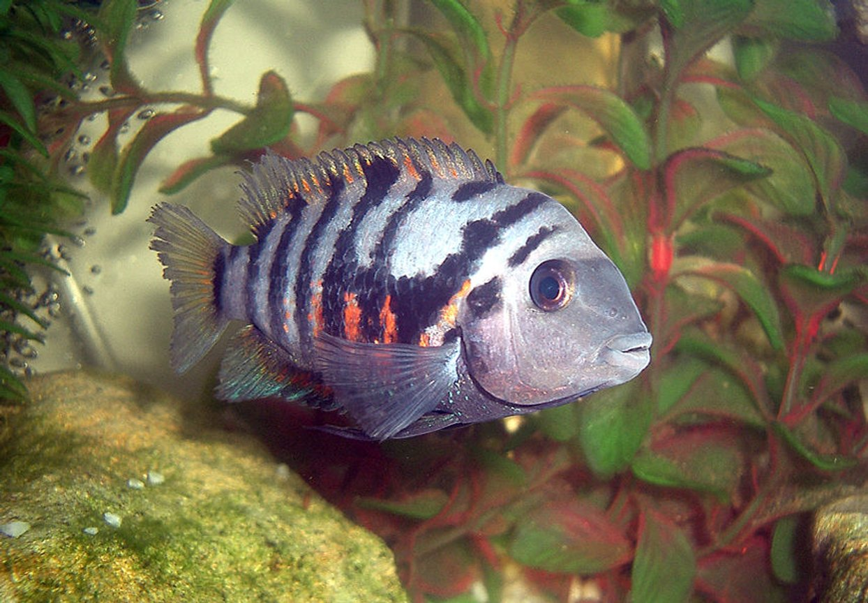 freshwater fish - archocentrus nigrofasciatus - convict cichlid stocking in 35 gallons tank - convict chiclid
