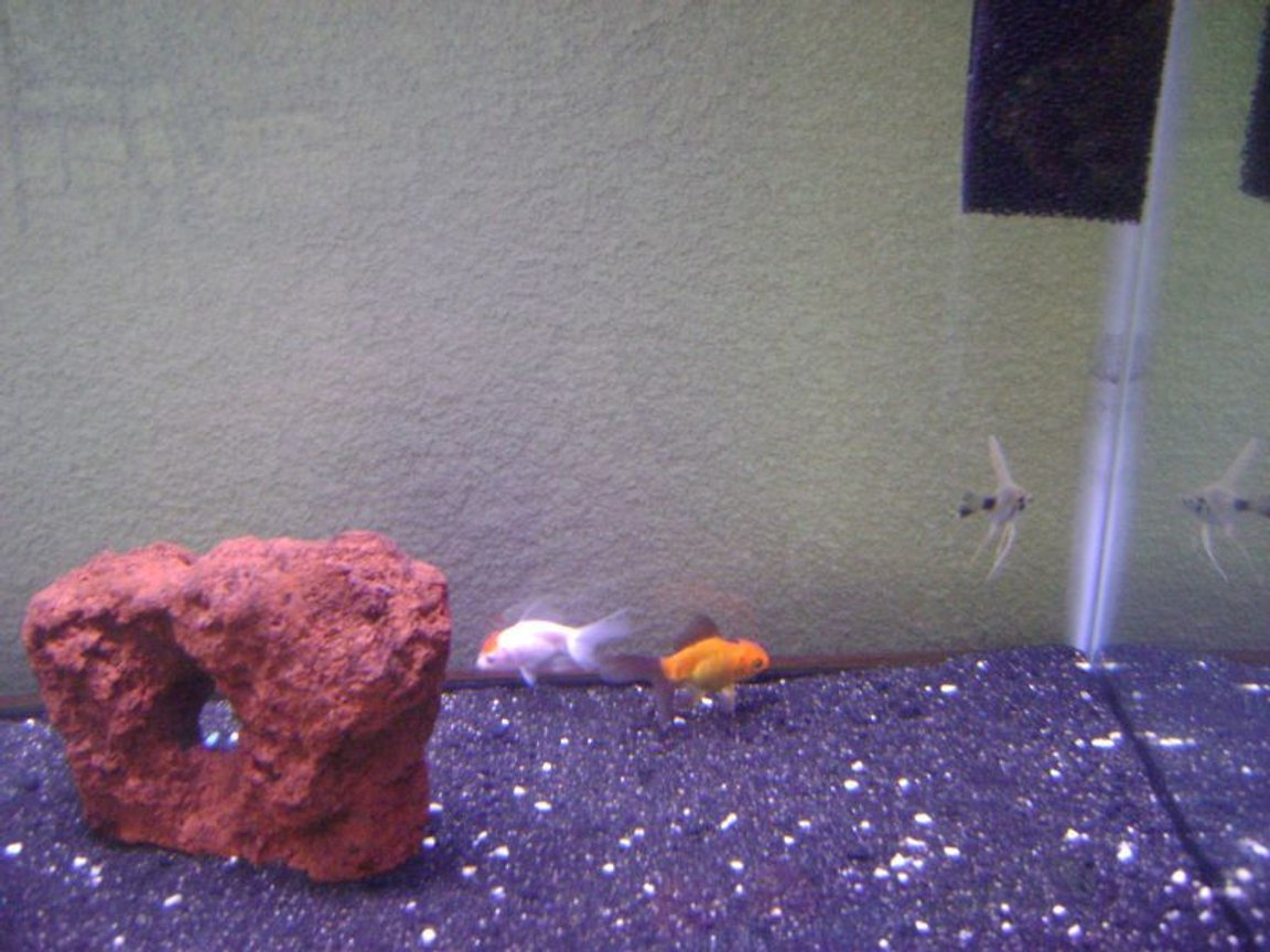 freshwater fish - carassius auratus - red oranda goldfish stocking in 30 gallons tank - My new tank 30 gallons Zoo Med Power Sweep and Aquaclear 30 Power Filter, it has black sand with some white crushed coral, 1 Red Lava Stone planning on adding more decorations. Fish: 2 Orandas, 1 Angelfish... more to come!