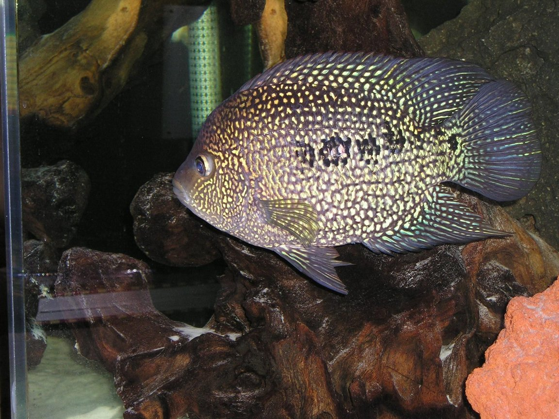 freshwater fish - herichthys carpinte - green texas cichlid stocking in 80 gallons tank - Green Texas