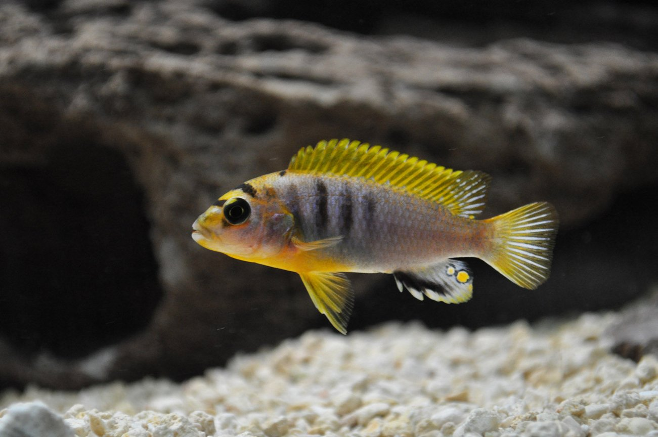 freshwater fish - labidochromis sp. - hongi stocking in 120 gallons tank - Young Red Top