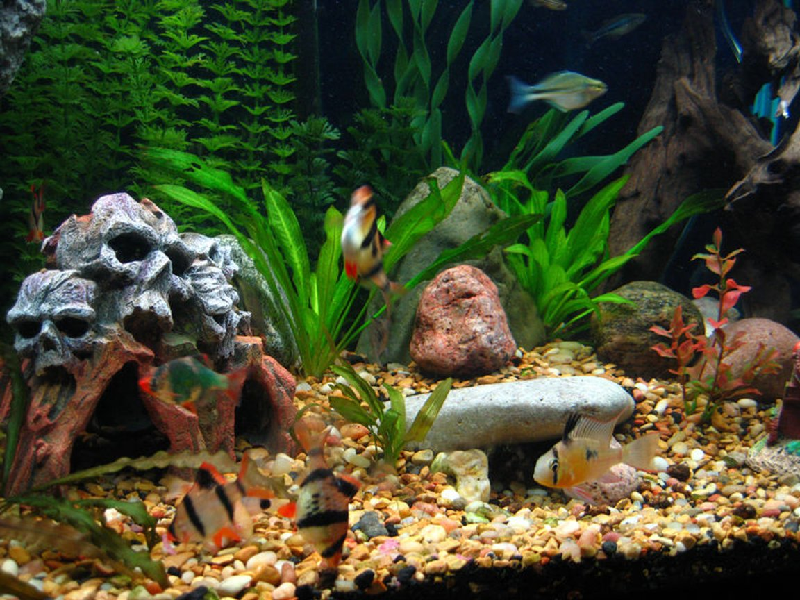 freshwater fish - puntius tetrazona - tiger barb stocking in 65 gallons tank - The caves, Bolivian Rams and ever playful Tiger Barbs.