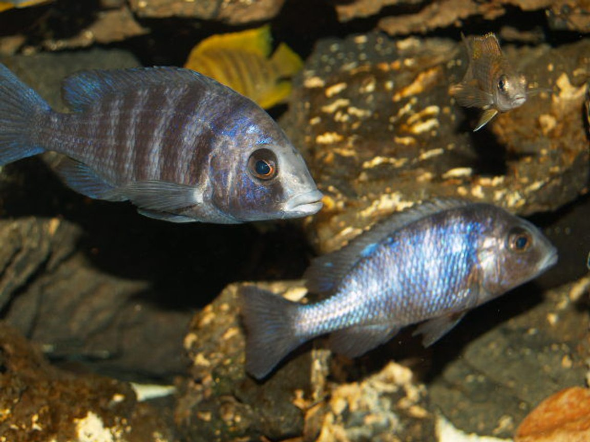 freshwater fish - cyrtocara moorii - blue dolphin cichlid stocking in 150 gallons tank - My phenochiluses like to stay together in the tank all the time.