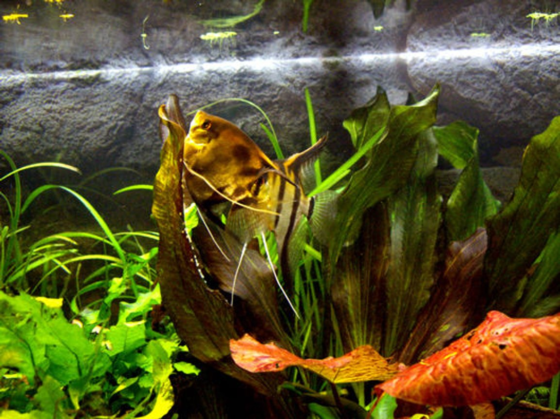 freshwater fish - pterophyllum sp. - silver zebra angel stocking in 40 gallons tank - Scalari in deposizione