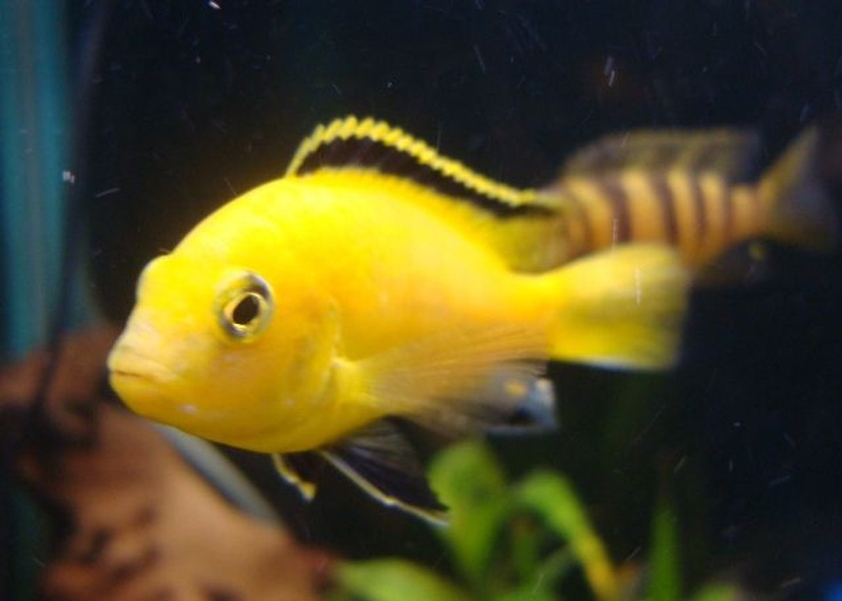 freshwater fish - labidochromis caeruleus - electric yellow cichlid stocking in 114 gallons tank - 1 of my yellow labs