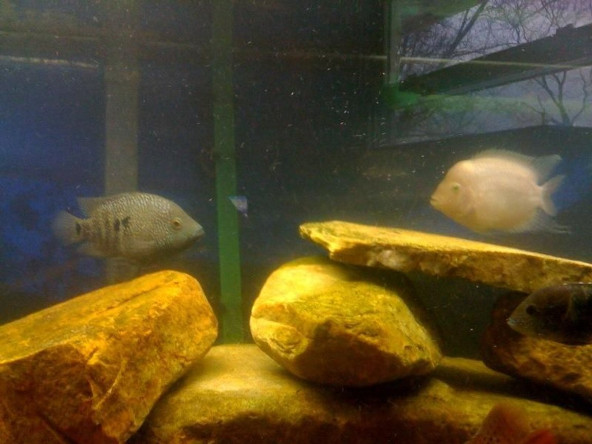 freshwater fish - herichthys carpinte - green texas cichlid stocking in 75 gallons tank - Convict and Texas cichlid