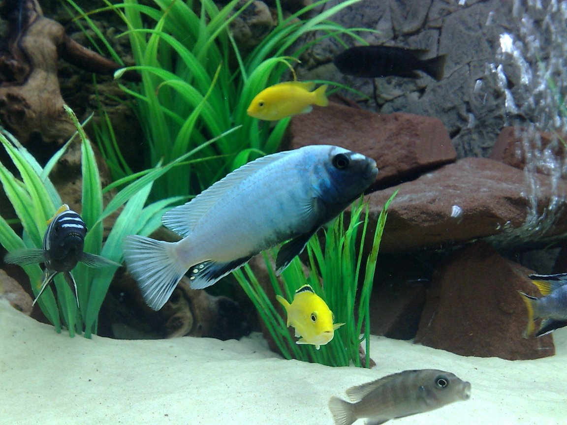 freshwater fish - pseudotropheus polit - polit cichlid stocking in 105 gallons tank - Pseudotropheus polit