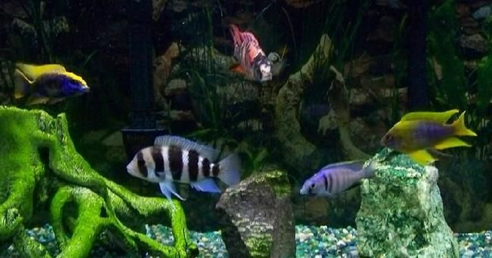 freshwater fish - cyphotilapia frontosa - frontosa cichlid stocking in 54 gallons tank - 75 Gallon: Yellow Blaze, Frontosa, OB Compressiceps, Deep Water Hap, and Lemon Jake