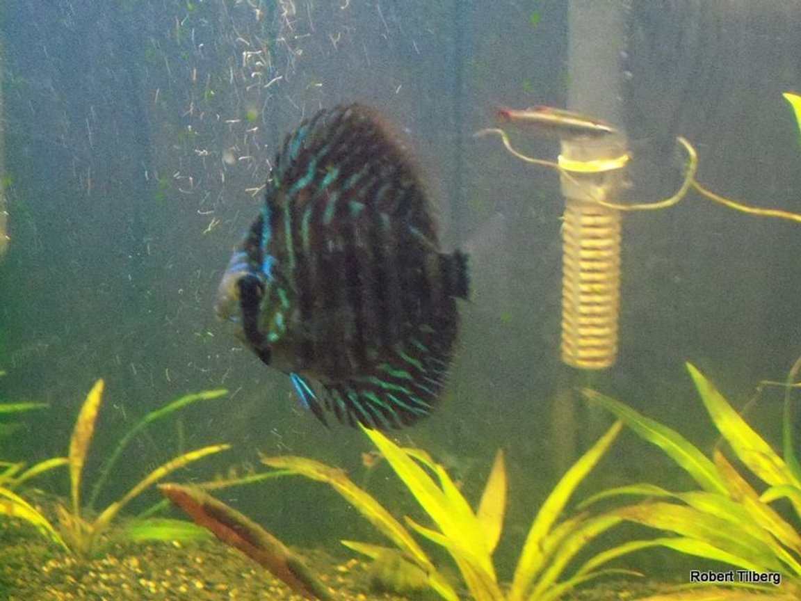 freshwater fish - symphysodon spp. - checkerboard discus stocking in 40 gallons tank - R.I.P. this is why you need to get rid of all parisites in your tanks