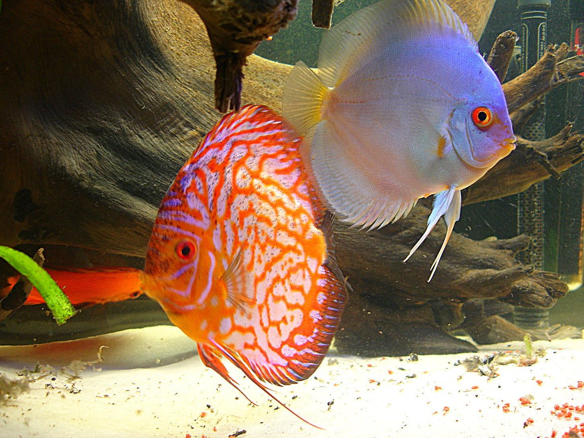 freshwater fish - symphysodon sp. - blue diamond discus stocking in 55 gallons tank - the king and queen of my tank. unfortunately, both have passed.