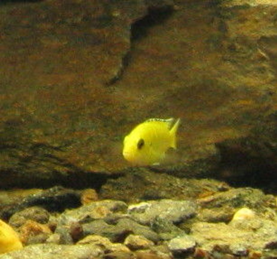 freshwater fish - labidochromis caeruleus - electric yellow cichlid stocking in 55 gallons tank - cichlid