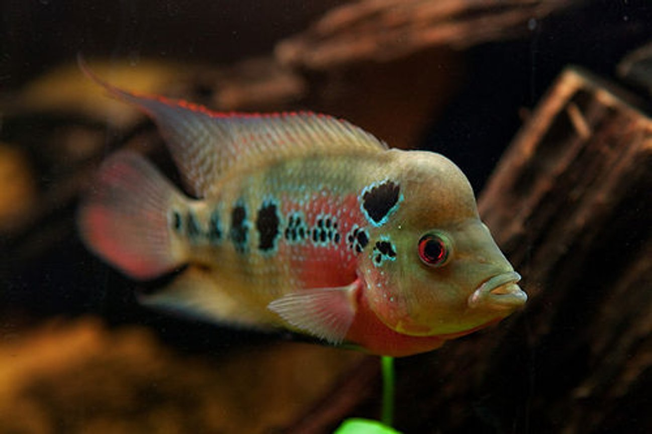 freshwater fish - cichlasoma sp. - flower horn cichlid stocking in 110 gallons tank - ZZ flowerhorn