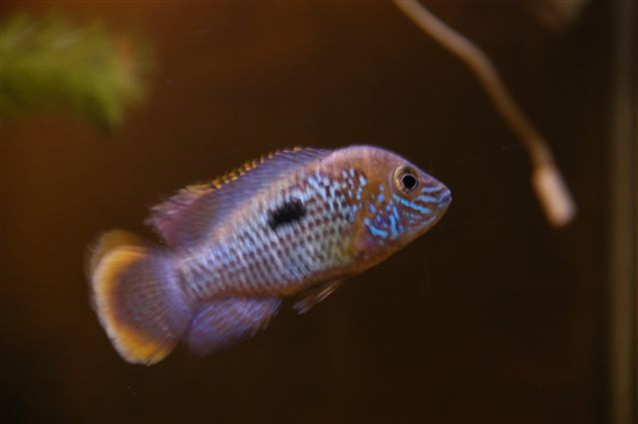 freshwater fish - aequidens rivulatus - green terror stocking in 55 gallons tank - American Cichlid
