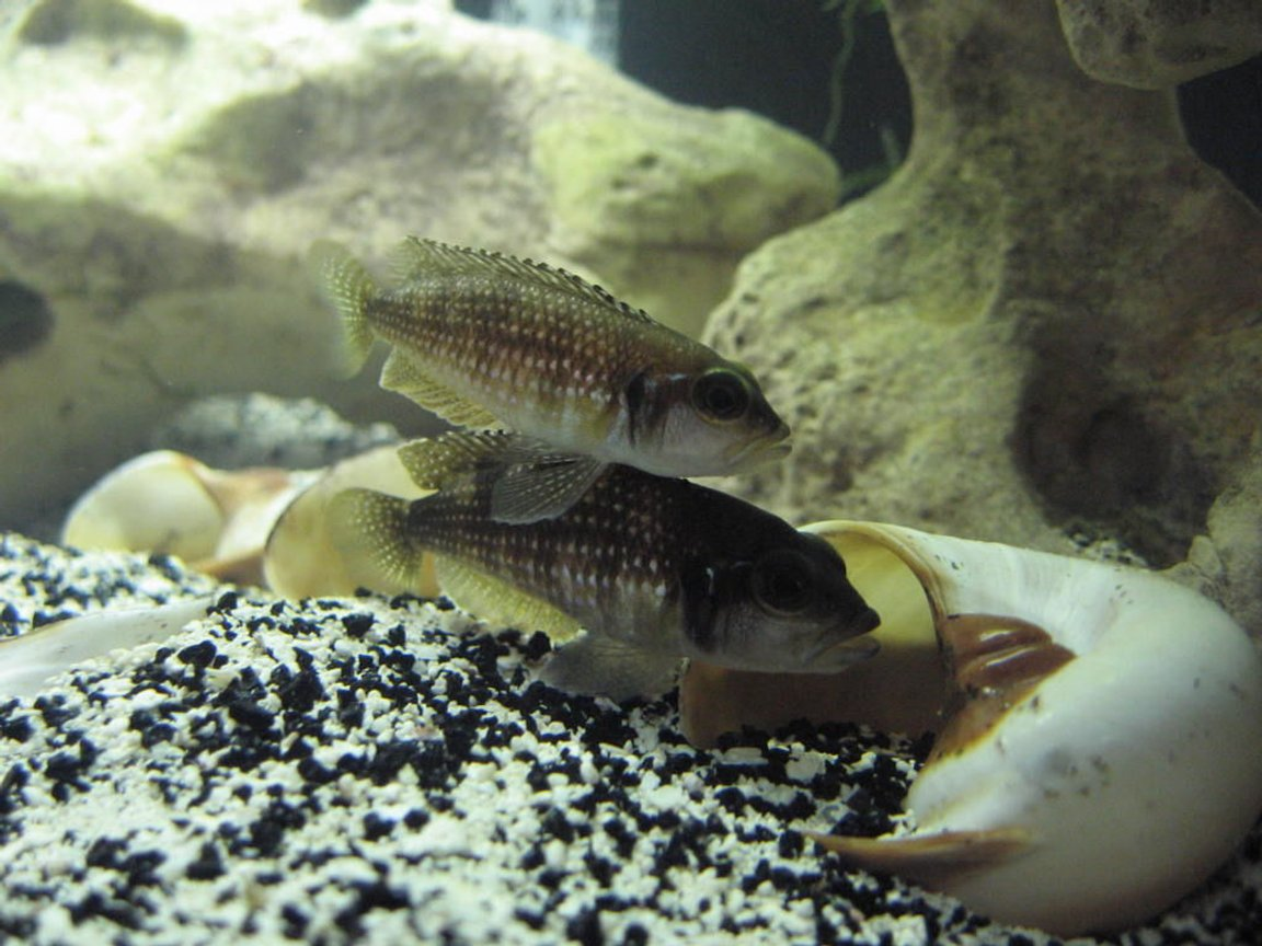 "freshwater fish - lamprologus stappersi - pearly ocellatus stocking in 20 gallons tank - Male and female adult ""Lamprologus stappersi"" getting ready to nest."