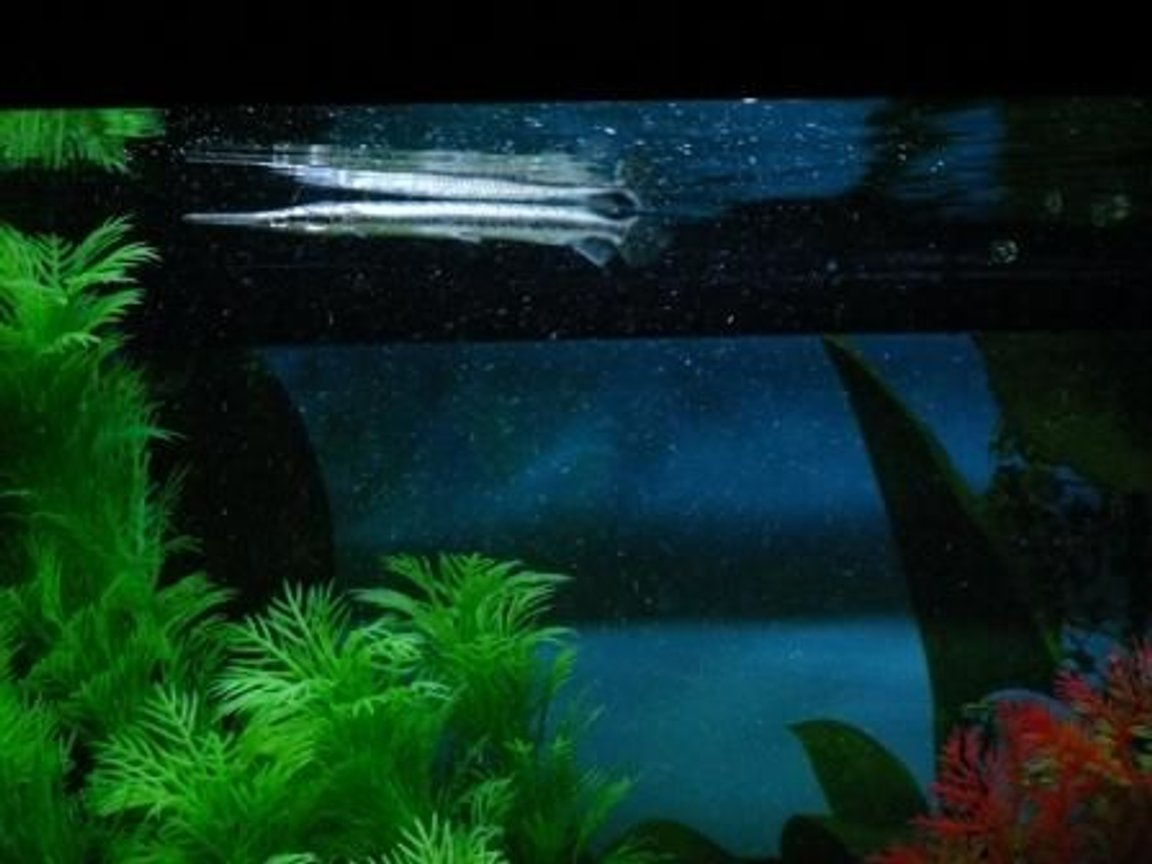 freshwater fish - lepisosteus oculatus - spotted gar stocking in 100 gallons tank - The Spotted Gar