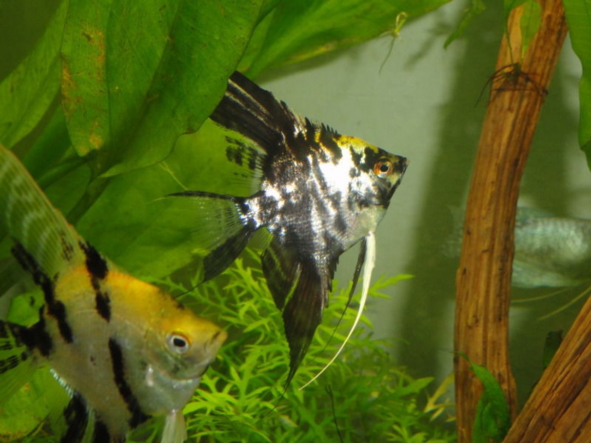 freshwater fish - pterophyllum sp. - marble veil angel stocking in 55 gallons tank - angelfish