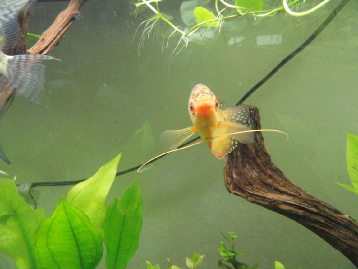 freshwater fish - trichogaster trichopterus - gold gourami stocking in 55 gallons tank - three spot gold gourami