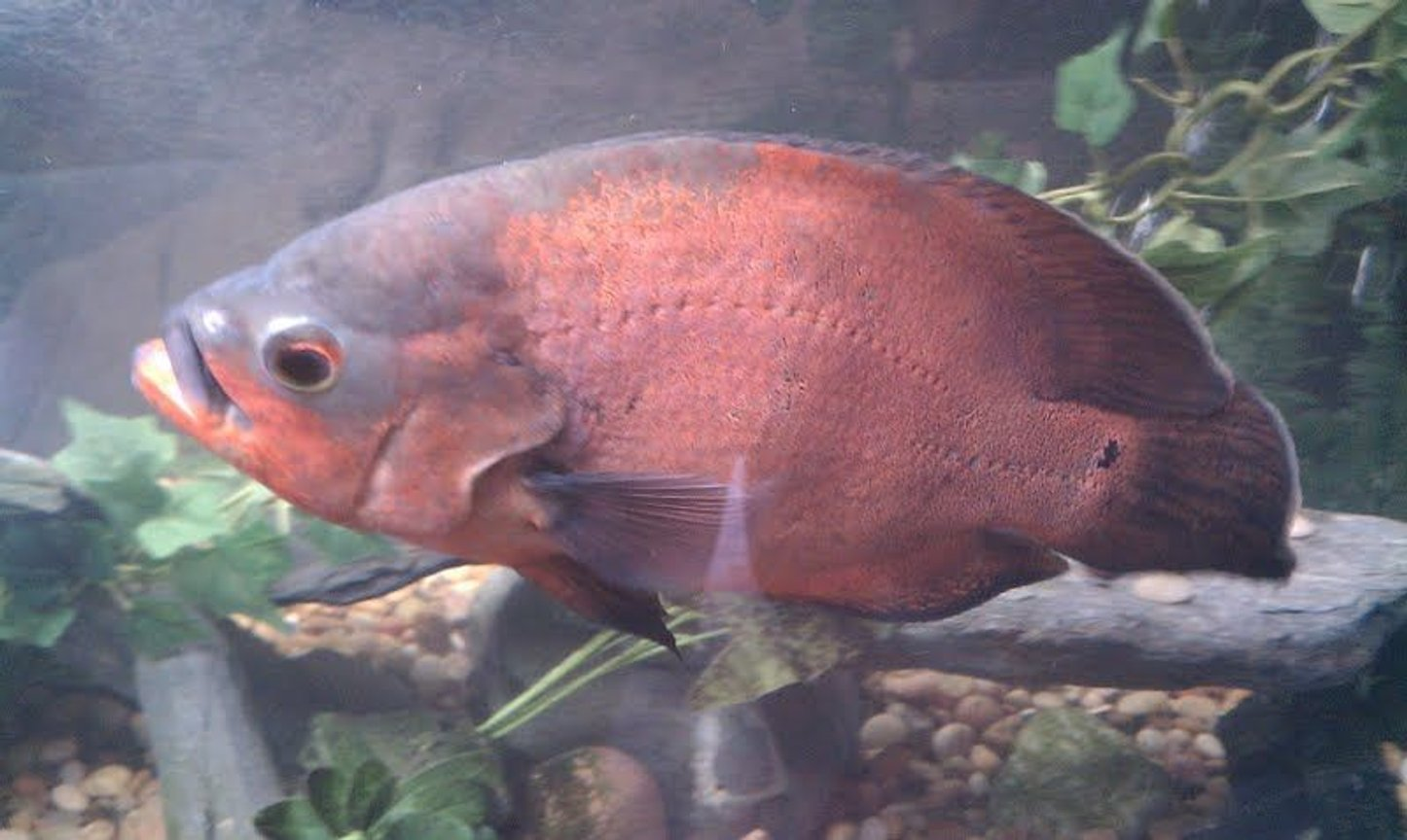 freshwater fish - astronotus ocellatus - red oscar stocking in 125 gallons tank - My old buddy... Red Oscar 13 inches long, about 8 years old