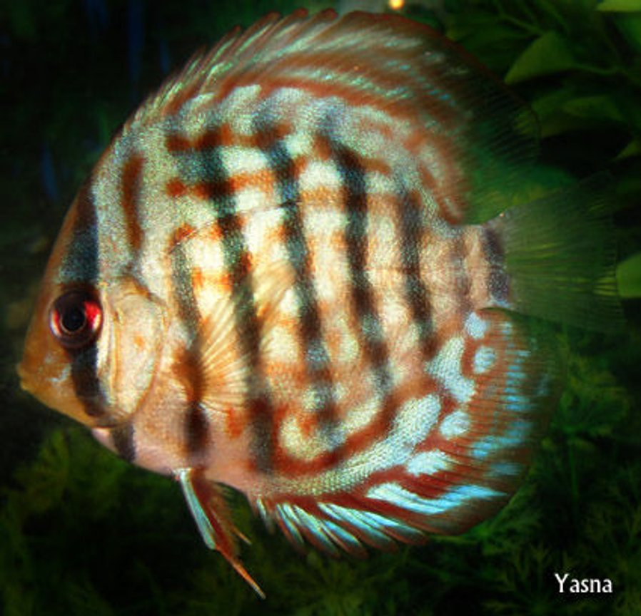 freshwater fish - symphysodon sp. - checkerboard discus stocking in 60 gallons tank