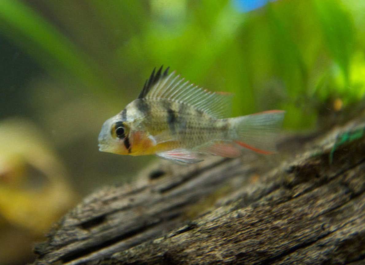 freshwater fish - microgeophagus altispinosa - bolivian ram stocking in 37 gallons tank - Bolivian Ram