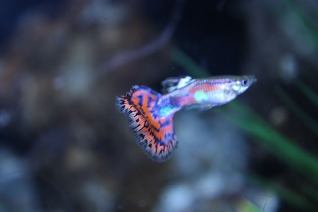 freshwater fish - poecilia reticulata - cobra guppy stocking in 125 gallons tank - guppy