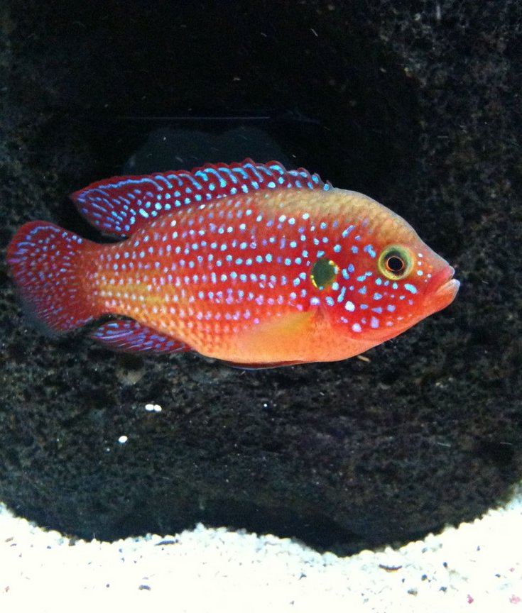 freshwater fish - hemichromis bimaculatus - jewel cichlid stocking in 40 gallons tank - red jewel