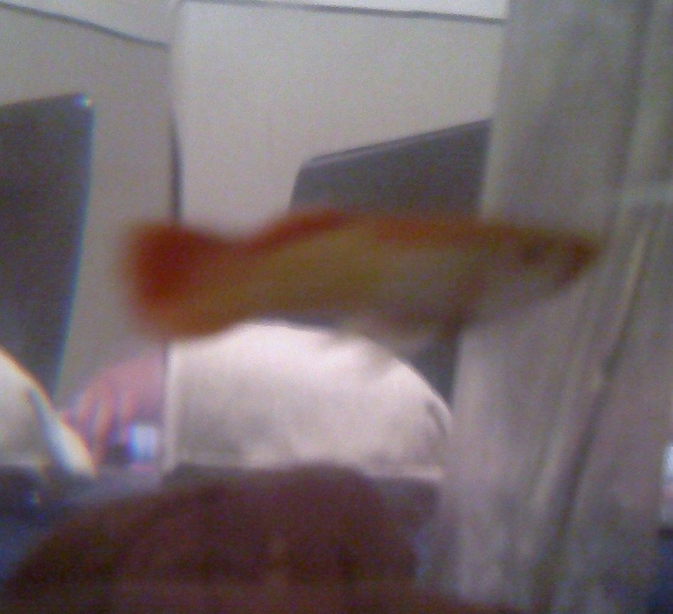 freshwater fish - xiphophorus maculatus - platy stocking in 3 gallons tank - Nobama I think she is prego Plz Help!