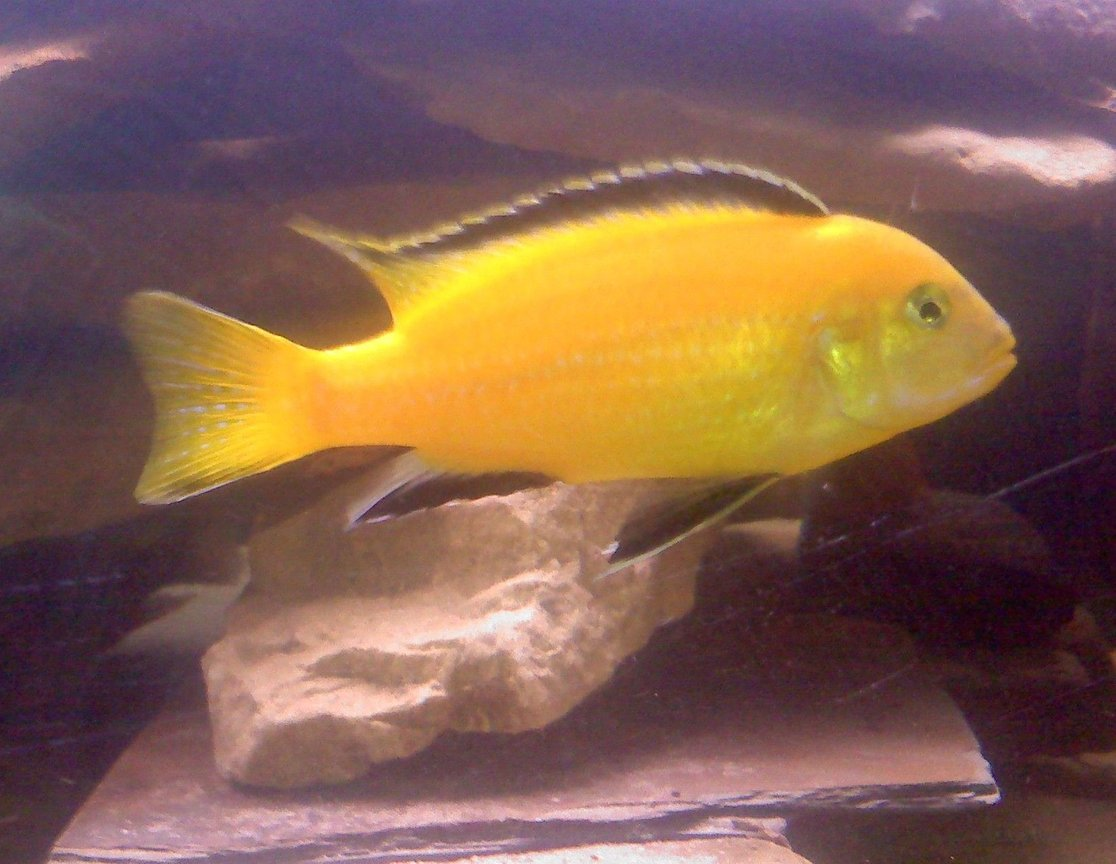 freshwater fish - labidochromis caeruleus - electric yellow cichlid stocking in 55 gallons tank - Peanut our yellow lab!