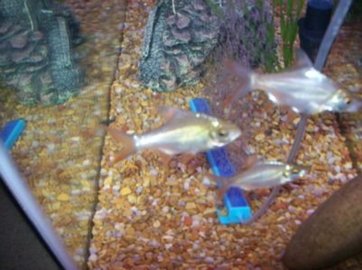 freshwater fish - barbus schwanefeldi - tinfoil red tail barb stocking in 55 gallons tank - REDFIN BARBS
