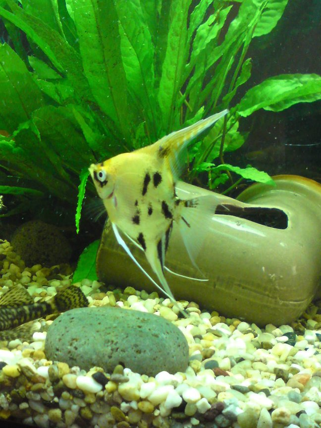 freshwater fish - pterophyllum sp. - koi angel stocking in 28 gallons tank - sarahs tank