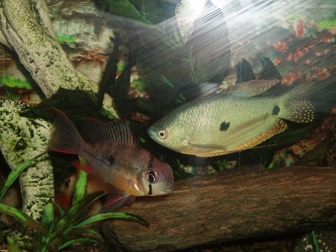 freshwater fish - trichogaster trichopterus - blue gourami stocking in 22 gallons tank - Lou Lou and Spot, very friendly together!