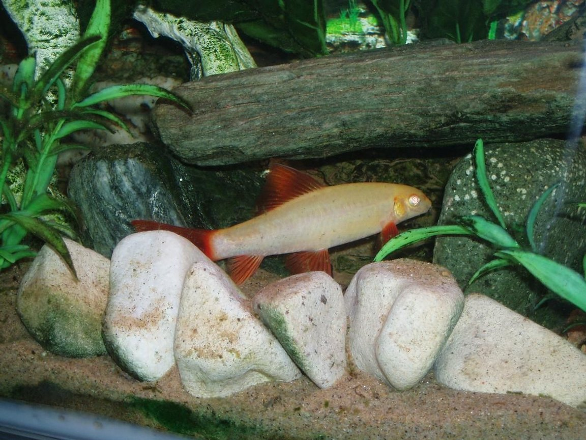 freshwater fish - epalzeorhynchos frenatus - albino rainbow shark stocking in 22 gallons tank - Sharky hiding in his cave waiting to pounce on someone else who dares to come close!