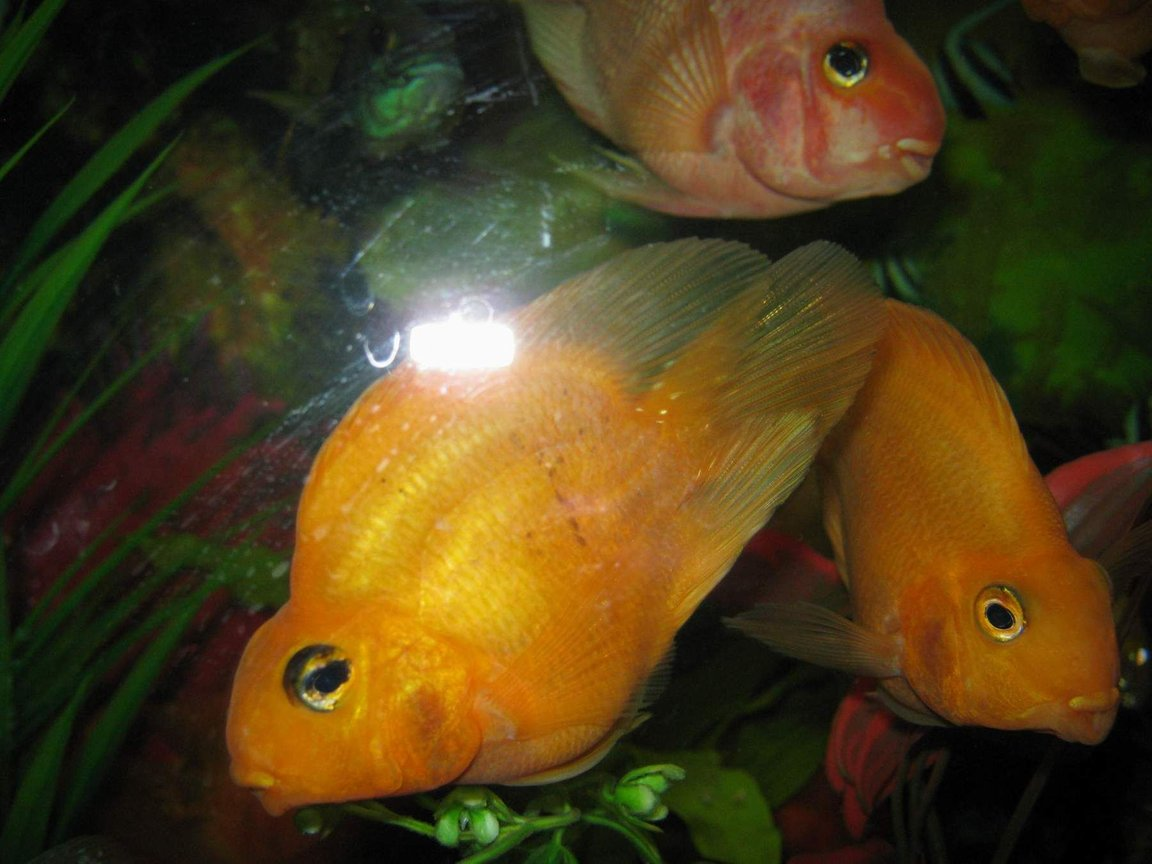 freshwater fish - heros severus x amphilophus citrinellum - blood parrot stocking in 90 gallons tank - parrots1