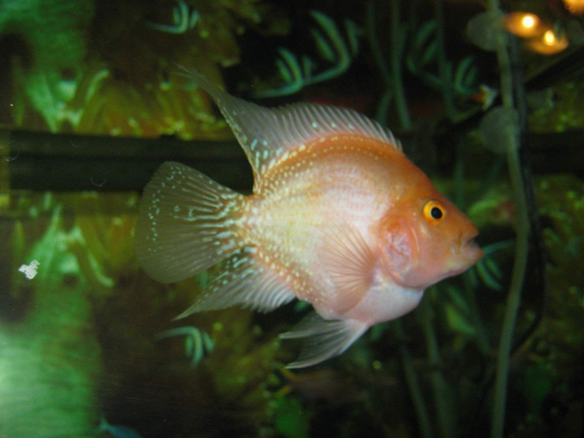 freshwater fish - cichlasoma sp. - flower horn cichlid stocking in 90 gallons tank - flower horn