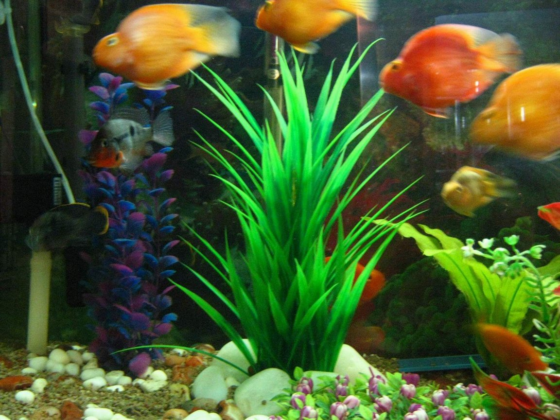 freshwater fish - heros severus x amphilophus citrinellum - blood parrot stocking in 90 gallons tank - parrots4