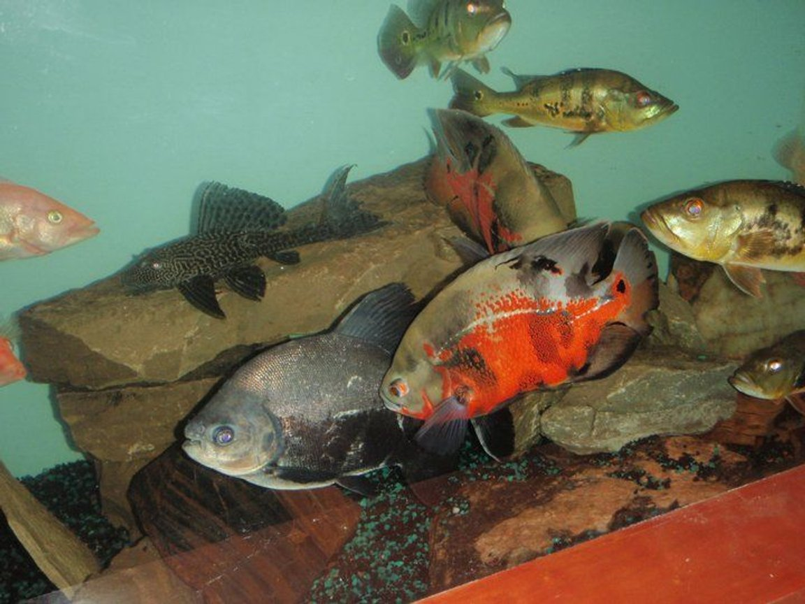 freshwater fish - astronotus ocellatus - red oscar stocking in 275 gallons tank - some of everything