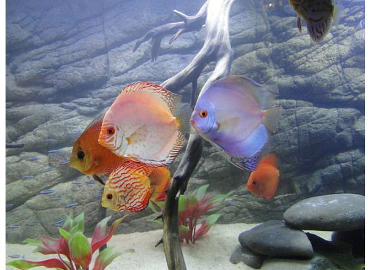 freshwater fish - symphysodon sp. - blue diamond discus stocking in 125 gallons tank - My Discus Cru