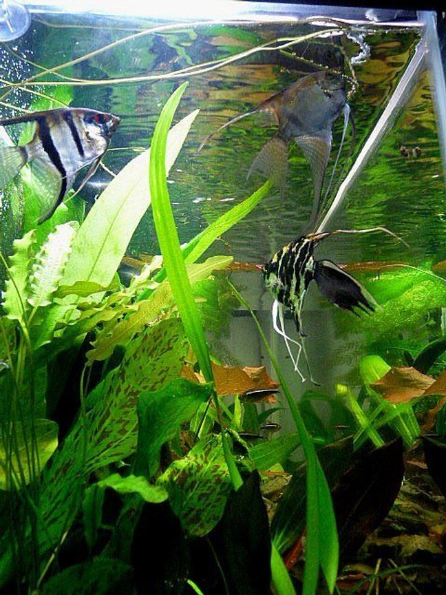 freshwater fish - pterophyllum sp. - marble veil angel stocking in 38 gallons tank - Three of my South American Cichlids. 2 Oronocco Angels, 1 Black Marbel Fantail Angel