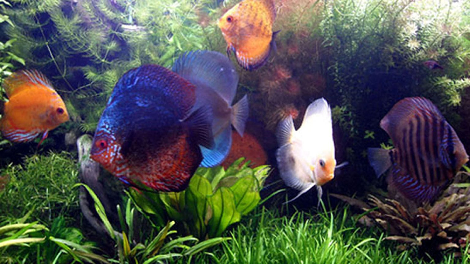 freshwater fish - symphysodon aequifasciata - green discus stocking in 75 gallons tank - Some of my oldest kids!