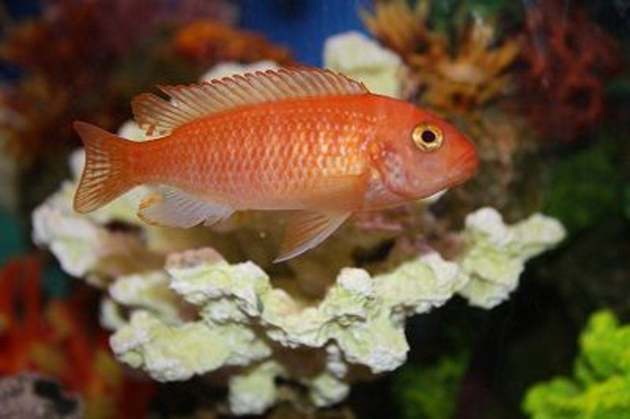 freshwater fish - pseudotropheus estherae - red zebra cichlid stocking in 55 gallons tank - Zebra African Cichlid