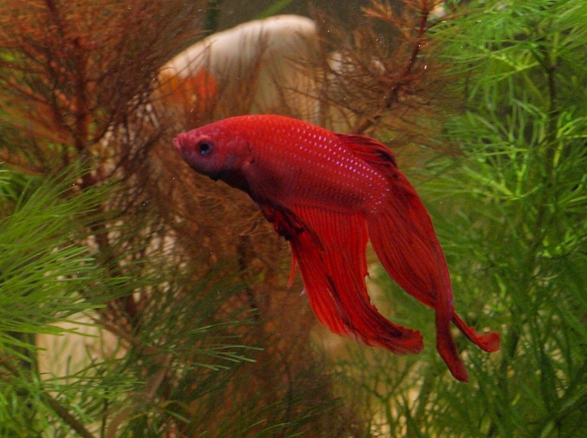 freshwater fish - betta splendens - betta - male stocking in 27 gallons tank - My Fighter