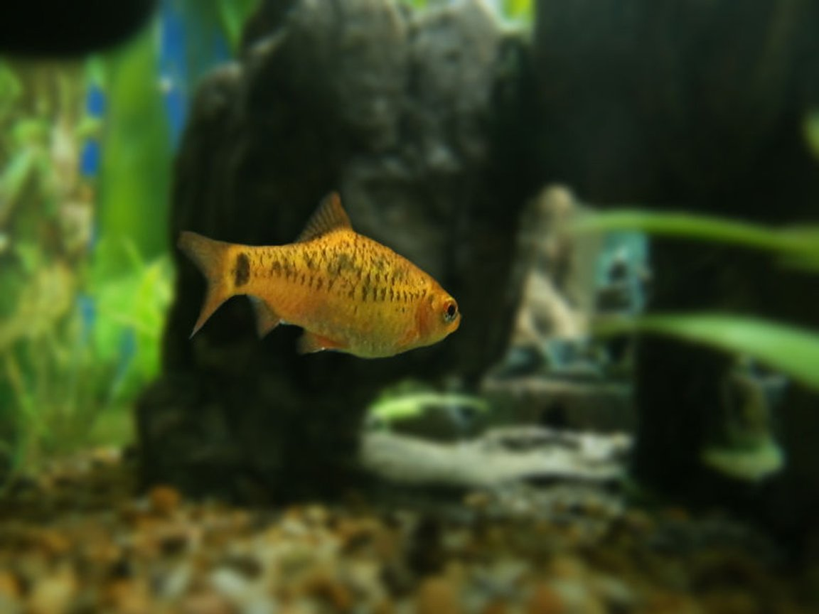 freshwater fish - puntius sachsii - gold barb stocking in 15 gallons tank - Gold barb entering rocky tunnel.