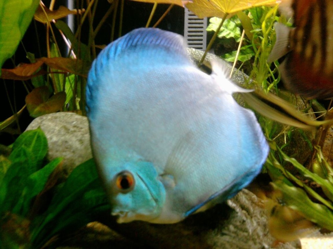 freshwater fish - symphysodon sp. - blue diamond discus stocking in 135 gallons tank - Blue Diamond Discus