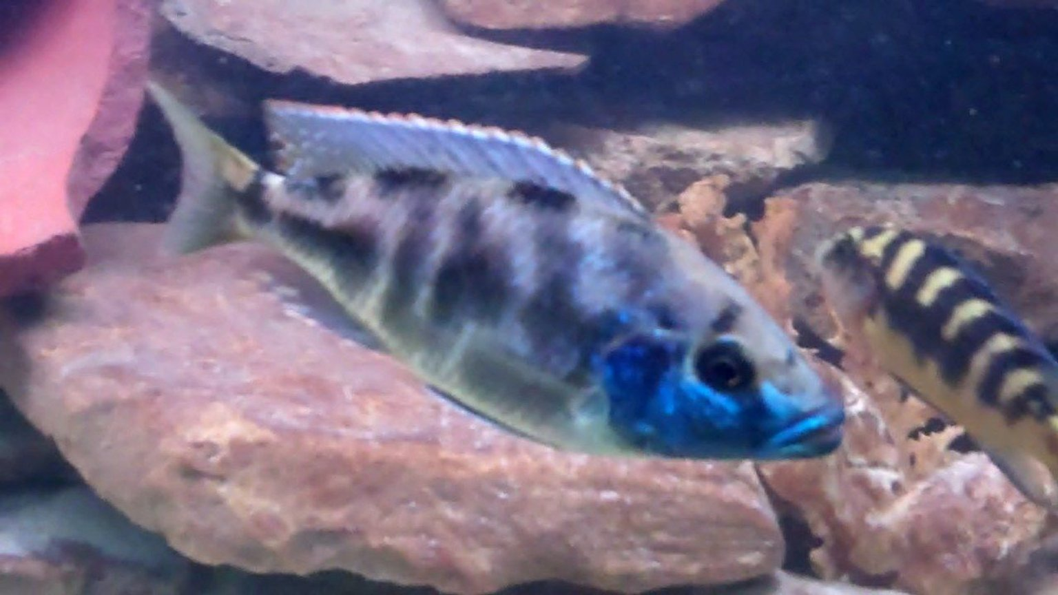 "freshwater fish - nimbochromis venustus - venustus cichlid stocking in 55 gallons tank - Livingstoni/peacock Father of 23 fry! Beautiful 8"" fish one of the tank dominants with 7 egg spots."