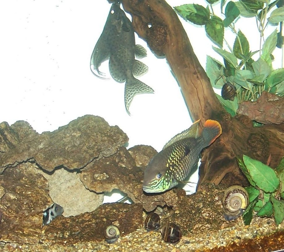 "freshwater fish - aequidens rivulatus - green terror stocking in 150 gallons tank - 5 inch Green Terror, 3"" Convict, in the 150"