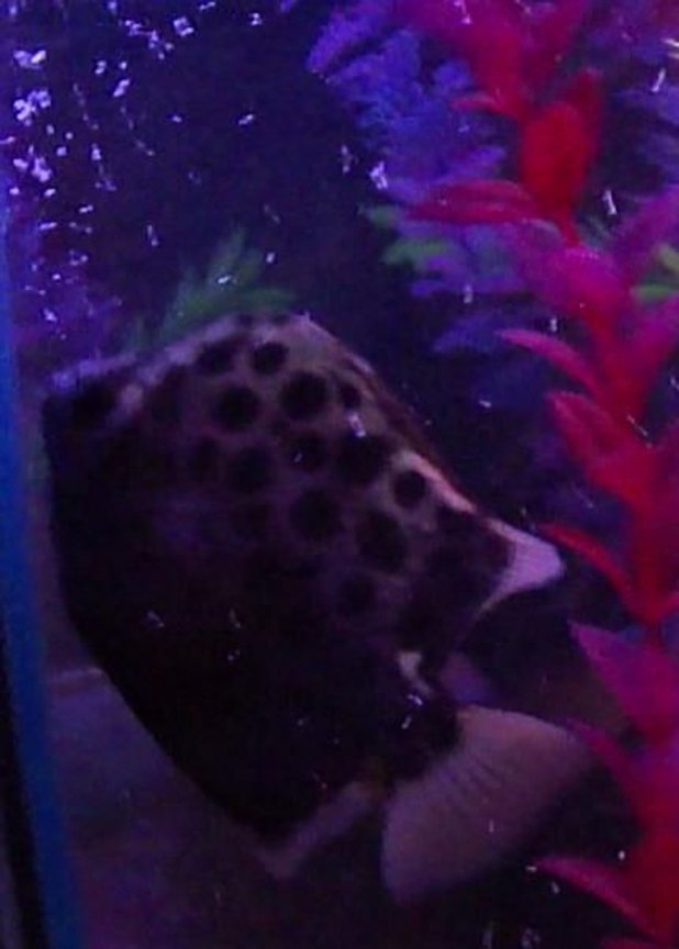 freshwater fish - scatophagus argus - spotted scat stocking in 40 gallons tank - Tiger Scat