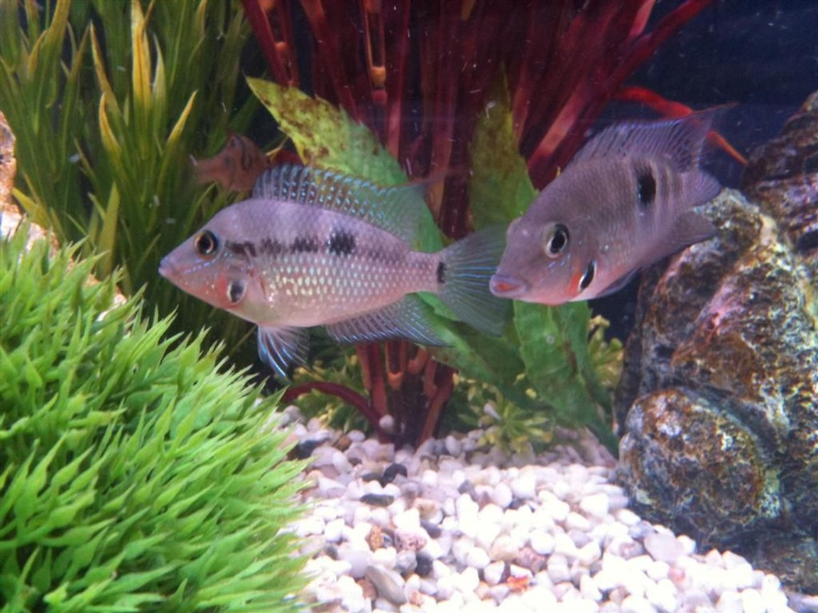 freshwater fish - thorichthys meeki - firemouth cichlid stocking in 55 gallons tank - Firemouth's Posing for the Camera