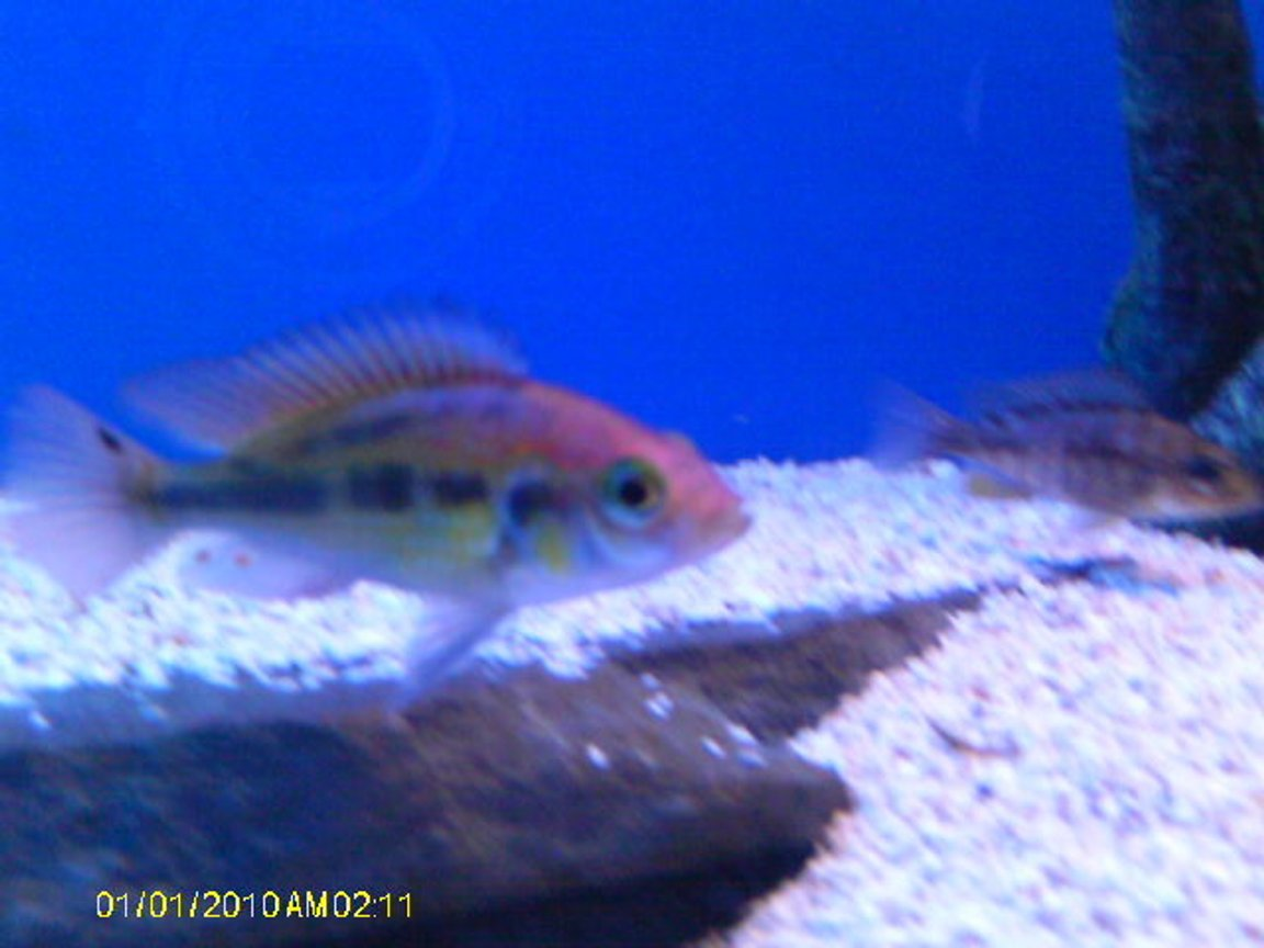 freshwater fish - haplochromis sp. - ruby green stocking in 55 gallons tank - ruby green