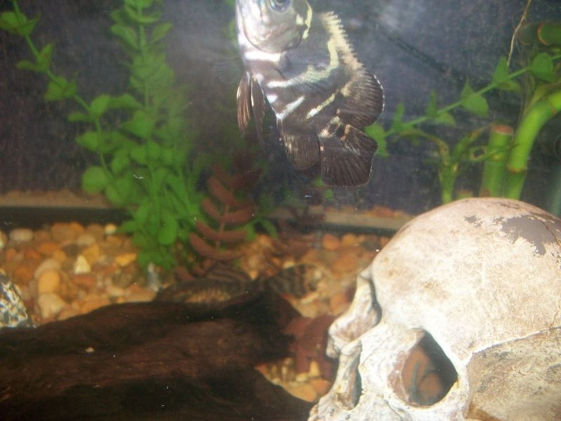 freshwater fish - astronotus ocellatus - red oscar stocking in 75 gallons tank - new oscar as a baby