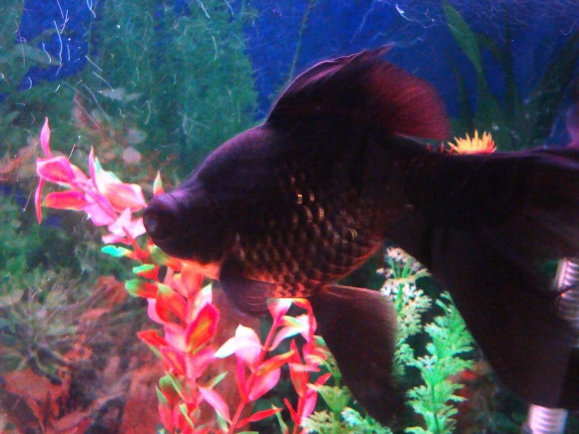 freshwater fish - carassius auratus - black moor goldfish stocking in 100 gallons tank - My Black Moor Goldfish